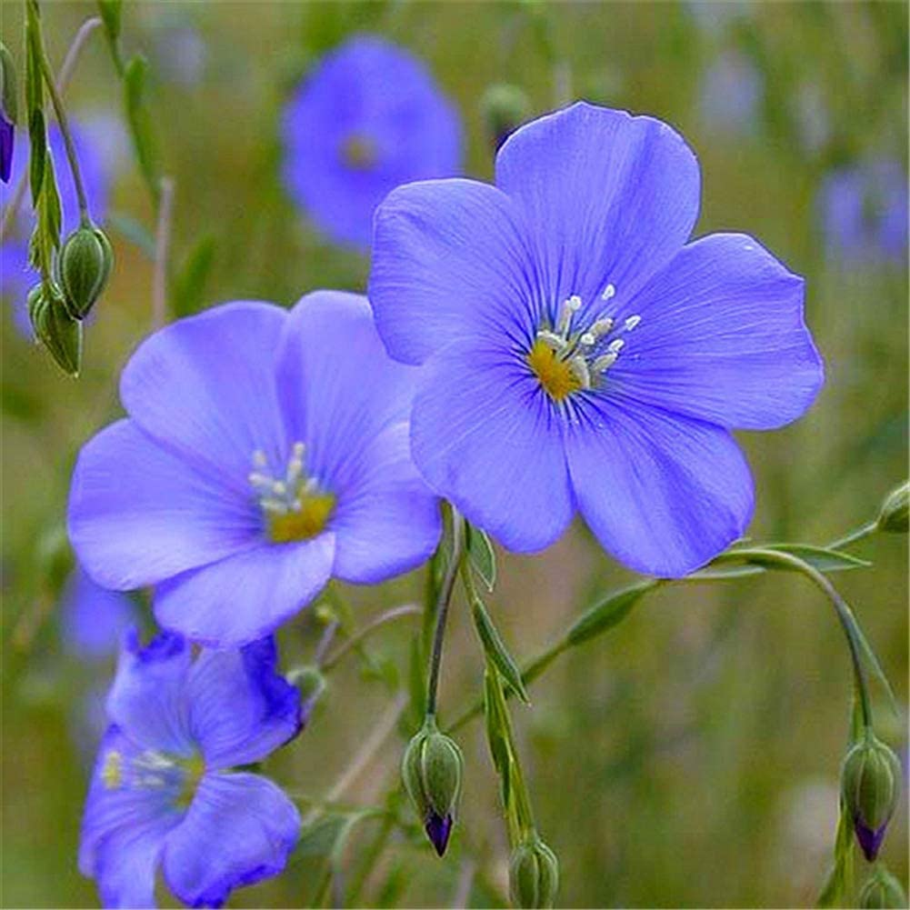 fleur de lin bleu